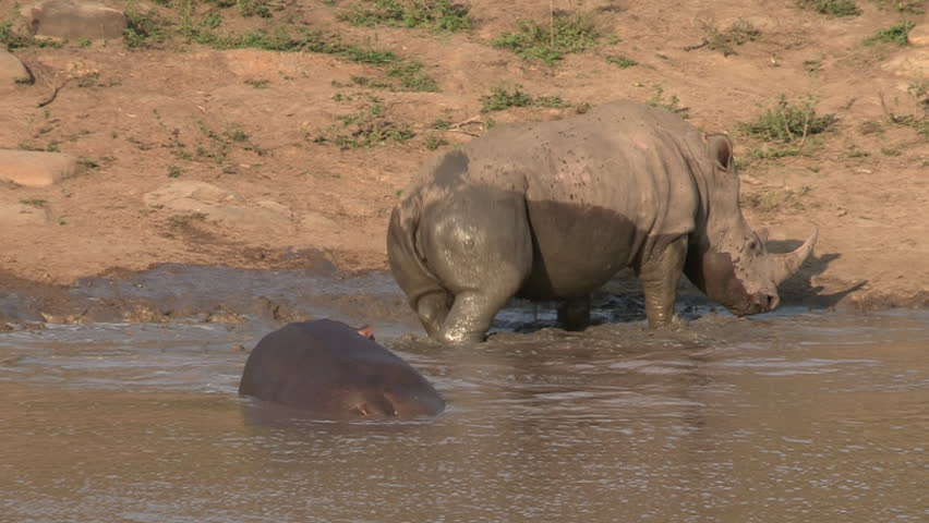 White rhino rolling in the mud next to a resting hippo. - HD stock video clip