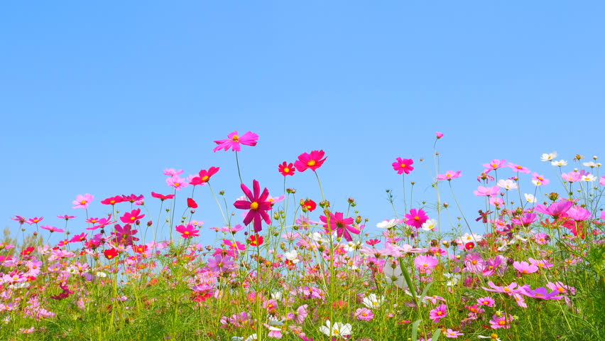 panning shot of cosmos flower field with blue sky #13964333
