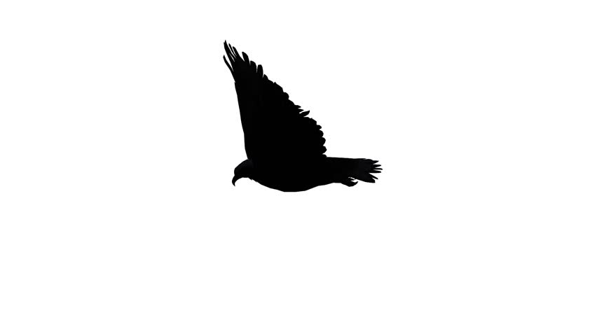 Eagle inciting wings flying in sky,haliaeetus leucocephalus bird animal sketch silhouette.american freedom symbol. cg_02157