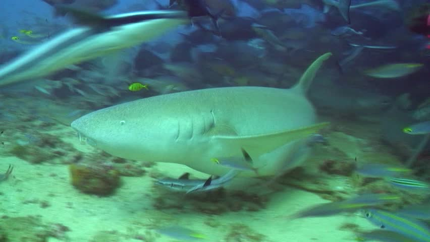 Big Silver Fish Swims Slowly Past Aquarium Glass, Followed By A ...