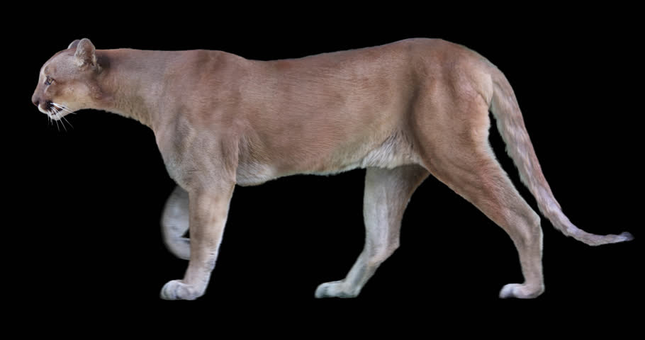 Cougar walking. Isolated and cyclic animation. Alpha channel.