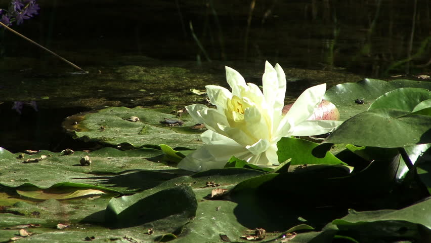 A white lotus flower on a pond.