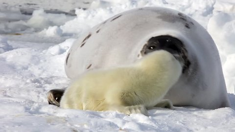 Cute Newborn Seal Pup drinking milk from a mother's nipple. A Family Polar Arctic Harp Sea Grey Calf Seal With Newborn Baby Cute Pups On Ice Fields Of White Sea. Eco-tourists guard fluffy wonders!