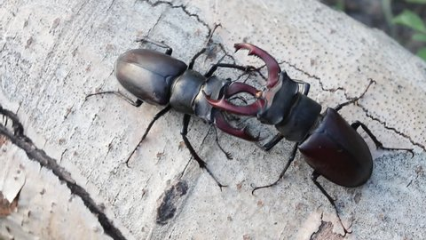Stag Beetle (Lucanus cervus) two males fighting on dead wood.