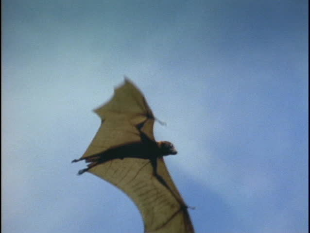 A bat flies over the Indonesian jungle.