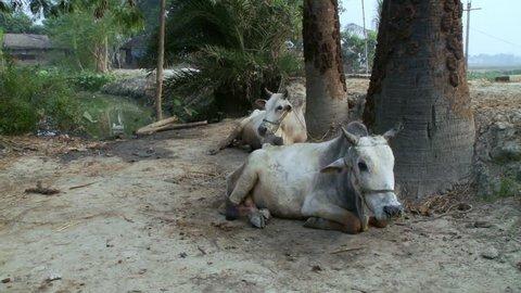 Baruipur, India - CIRCA 2013 - Two brahma bulls sitting on dirt path a little boy walks into frame