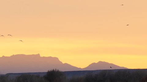 Slow motion of hundreds of snow geese and ducks circling above a field at sunset with desert mountains glowing in the evening light
