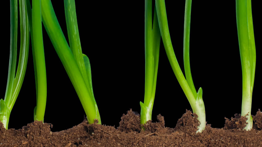Time-Lapse Of Growing Onion With Alpha Matte