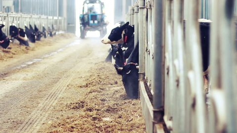 Modern farm barn with milking cows eating hay/Cows feeding on dairy farm/Cows in cowshed/Calf feeding on farm/Livestock on farm/Tractor in farm barn/Agriculture industry/Milk farm
