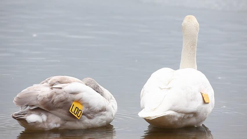Pair of tagged Trumpeter Swan, Cygnus buccinator
