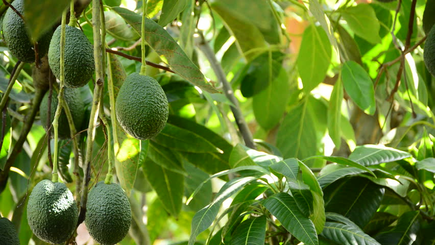 Avocado hass fruit and peduncle hanging at tree in a plantation of fruit trees in close up