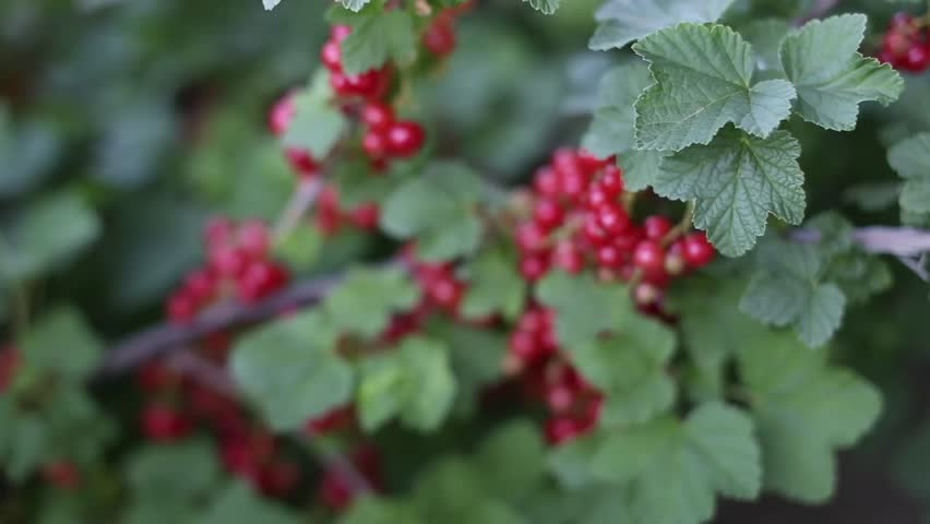 Header of lingonberry
