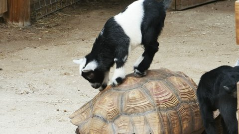 Baby Goats Climbing on Top of Large Tortoise