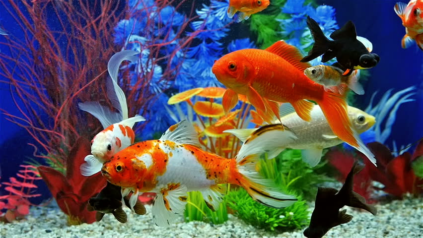 Aquarium With Goldfish Stock Footage Video 404026