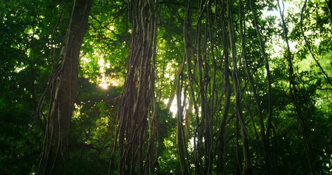 Sunlight beam flicker through leaves and trees of rainforest canopy in jungle