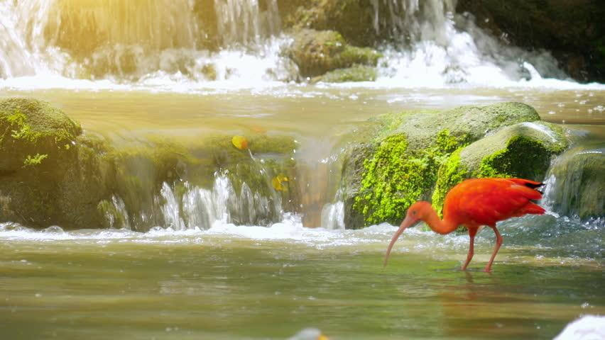Peaceful nature background of beautiful red feathered Scarlet Ibis bird in park