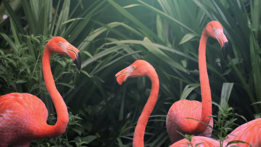 Flock of beautiful and exotic pink flamingos in natural environment