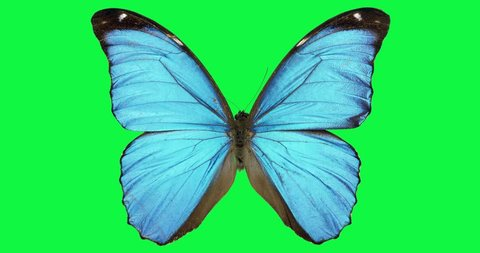 Blue butterfly animation green screen Spring butterfly's wing flight wings. Flying butterfly with alpha channel on a green and white background