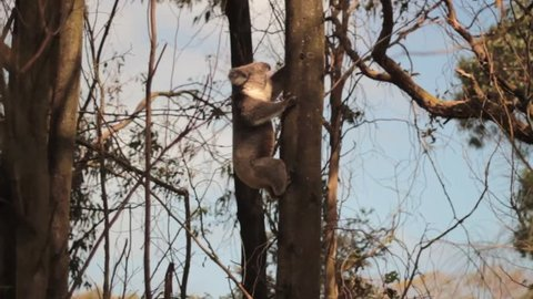 Koala bear is climbing on a tree