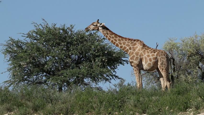 ecology of giraffa camelopardalis essay