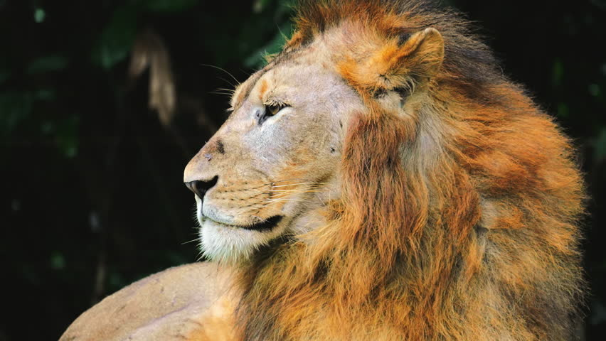 Portrait of large African lion looking around with calm expression