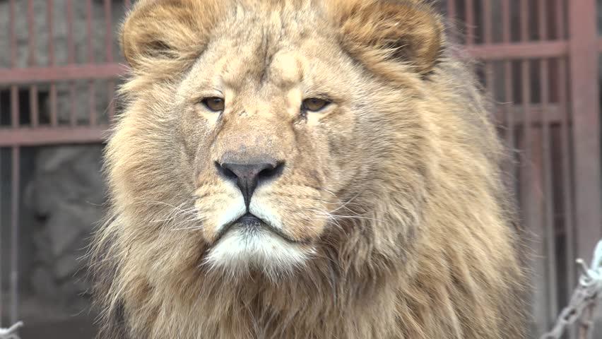 A Lion Watching Intently Closeup. 4K UltraHD, UHD #14674828