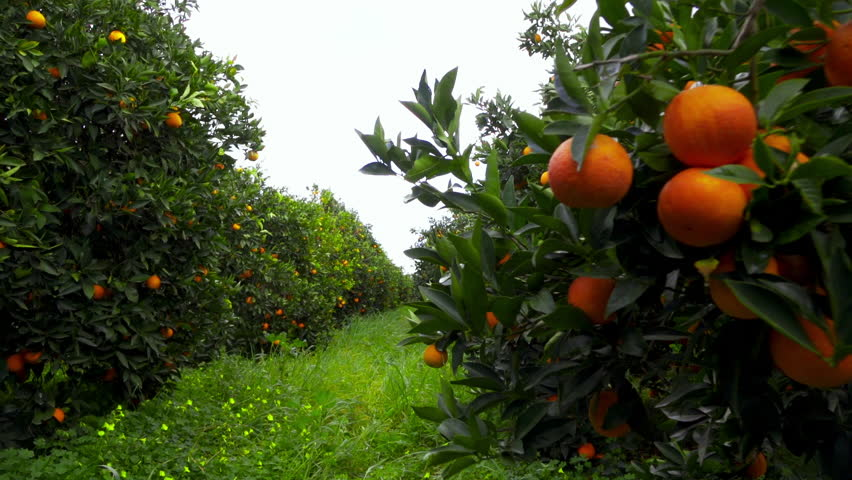 100p walking through an orange grove fruit hanging from trees,steadicam/gimbal.100 frames per second low angle tracking in clip inside an orange grove in southern Greece.Oranges hanging from the trees | Shutterstock HD Video #14707378