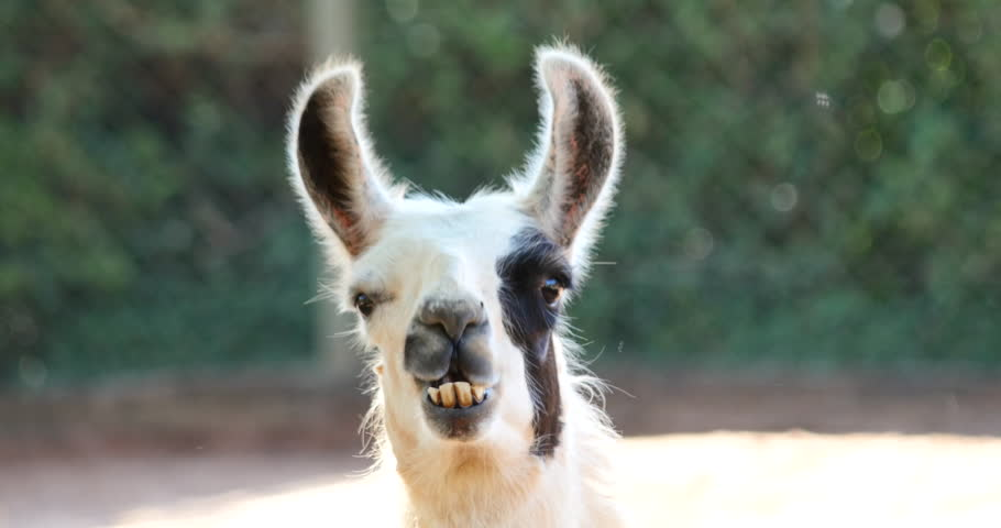 4K Alpaca eating hay, Llama