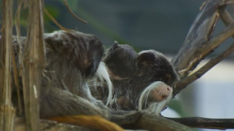 MS SELECTIVE FOCUS Emperor tamarins eating on branch