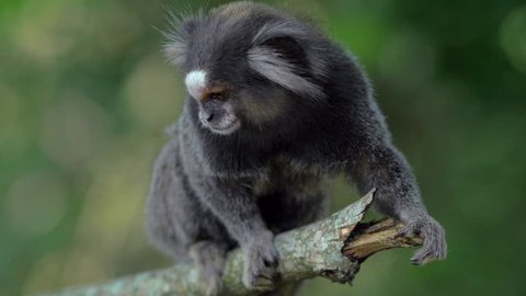 Sagui monkey in the wild, sitting on branch and looking around, in Rio de Janeiro, Brazil. The black-tufted marmoset (callithrix penicillata) lives primarily in the Brazilian tropical forests.