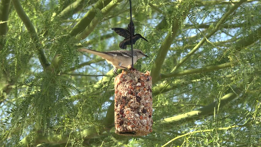 Mockingbird in Arizona eating from a seed block | Shutterstock HD Video #14783536