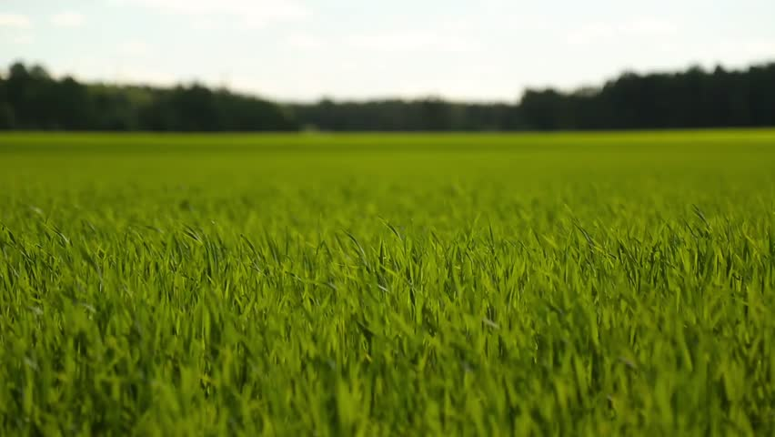 tall green grass field. Tall Green Grass Field