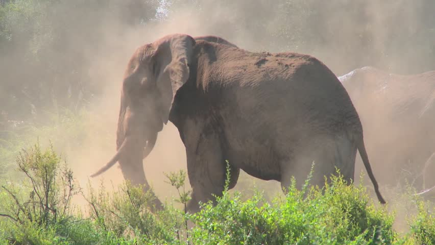 A giant African elephant gives himself a dustbath in this remarkable shot.