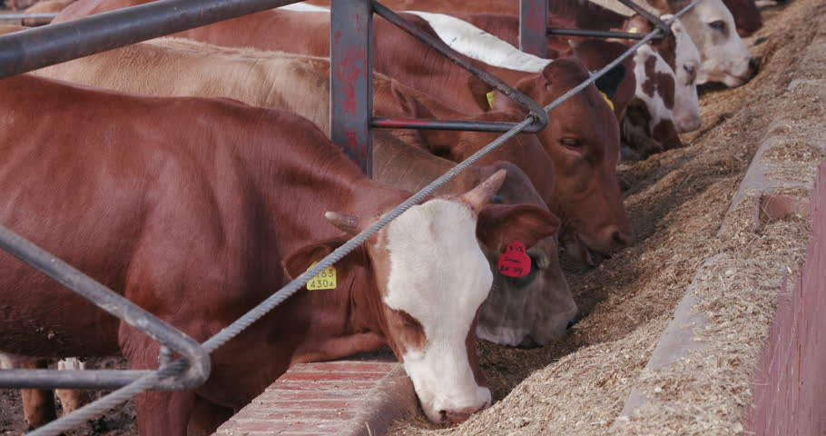 Close-up view of cattle feeding in a commercial feedlot  | Shutterstock HD Video #14903728