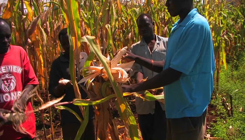 AFRICA - CIRCA 2009: Workers in a cornfield pull the ears of corn off the stalks and place them in a basket.