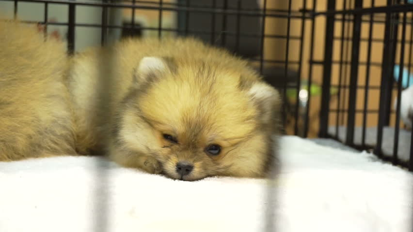 Small Adorable Of Pomeranian Puppy Stock Footage Video 100