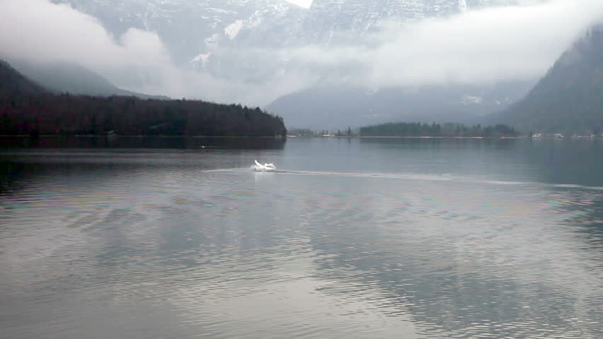 Swans in a lake, flying over the water, wintertime