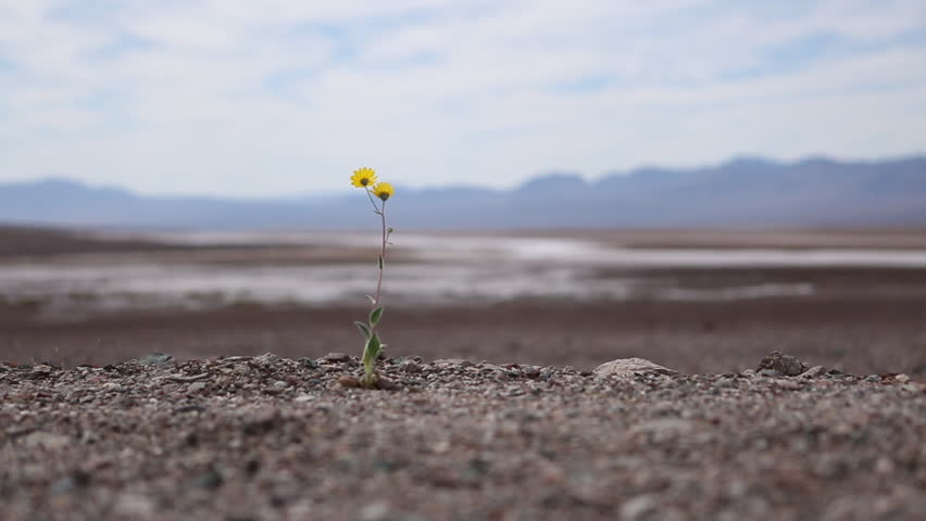 1920 x 1080 shallow depth of field static shot of a lone isolated yellow flower plant blowing in the breeze in the desert of Death Valley California on a partly cloudy sunny day