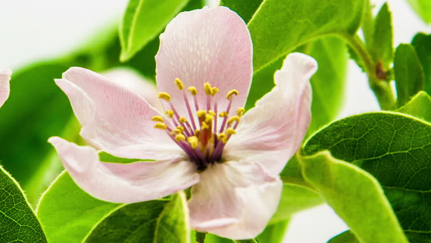 quince flower timelapse zoom out and pan from buds to whole flowerzoom out and - Quince Flower