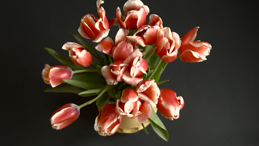 Time-Lapse, Bouquet of Red Tulips Opens Quickly in a Yellow Vase on a Black Background, Top View, Red Tulips With White Petals on the Ends of Many Colors in One Vase, Fast Life of Plants Wilting,