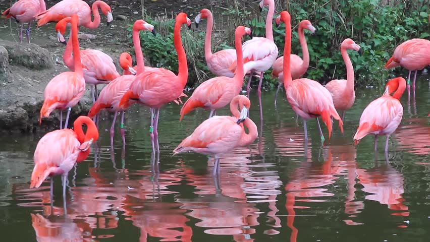 Group of Pink Flamingos with the Water Reflection at Zoo