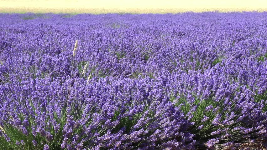 Valensole France Circa July 2017 A Flowering Lavender Field In Provence
