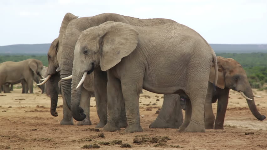Male Elephant With Penis Showing And Wart Hog In Background, Female Elephant Rushes -7421