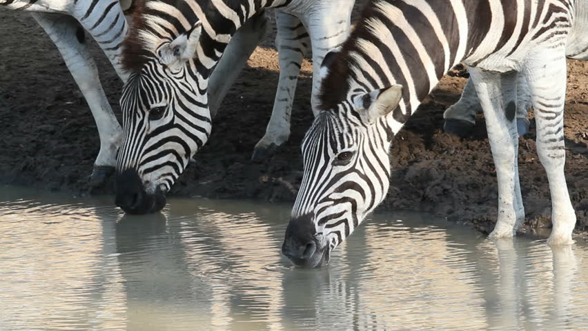 Close-up of plains (Burchells) Zebras (Equus quagga) drinking water, Mkuze game reserve, South Africa