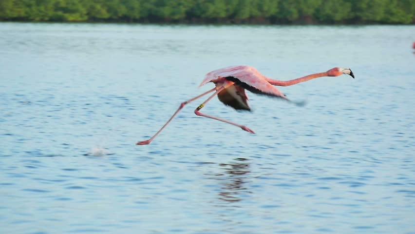 Pink flamingos walking on water starts flying slow motion rio lagartos lagoon mexico
