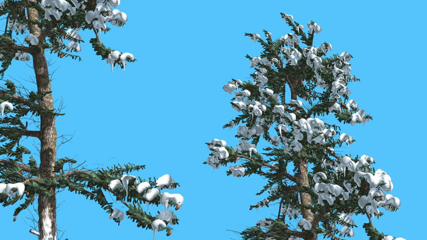 White fir two trees firs covered with snow tree on chroma key tree on chroma key alfa blue screen coniferous evergreen tree is swaying at the wind with its green crown thin trunks spiral leaf arrangement sciox Gallery
