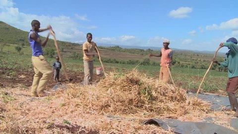 KENYA, AFRICA - CIRCA 2009: A circle of men thresh wheat on a farm circa 2009 in Kenya.