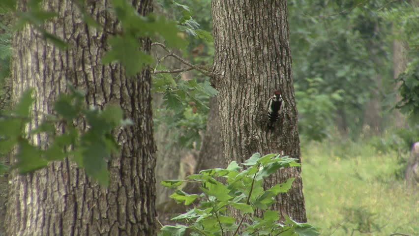 Great spotted woodpecker looking for insects during heavy storm in oak forest, spring time   Shutterstock HD Video #15360988