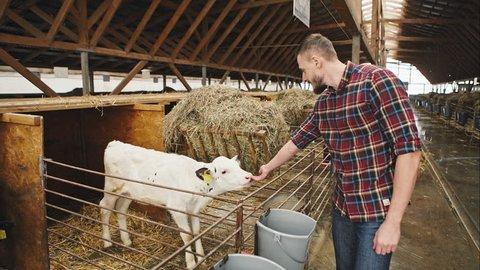 Happy young farmer feeding the calf. RAW video record.