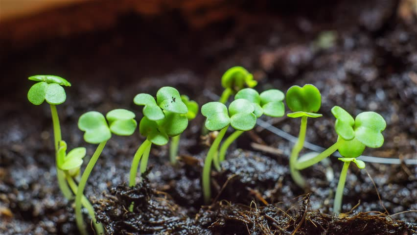 Arugula Sprouts. Seedling plants. Time-lapse - Fast Growing.